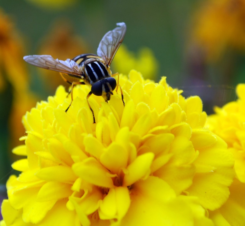 insekt vingar gul